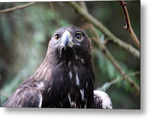 Northwest Trek Metal Print featuring the photograph Golden Eagle - 0039 by S and S Photo