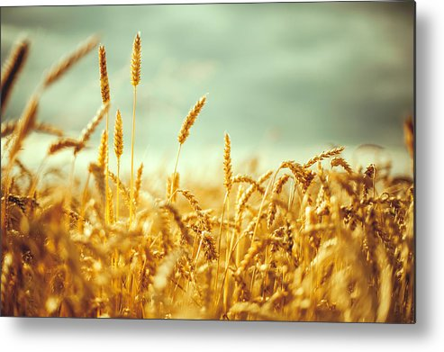Horizontal Metal Print featuring the photograph Golden Rey Field by A. Aleksandravicius