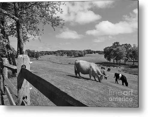 Cattle Metal Print featuring the photograph Grazing The Day Away by Catherine Reusch Daley