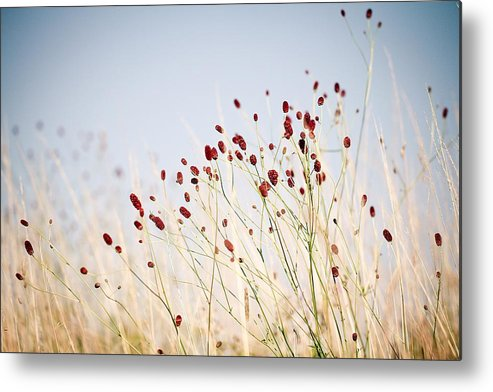 Horizontal Metal Print featuring the photograph Great Burnet Flowers by Lacaosa