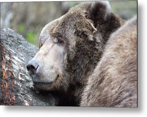 Northwest Trek Metal Print featuring the photograph Grizzley - 0014 by S and S Photo