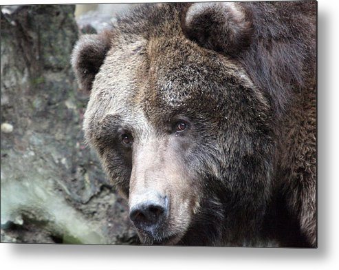 Northwest Trek Metal Print featuring the photograph Grizzley - 0015 by S and S Photo