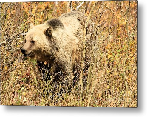Grizzly Bear Metal Print featuring the photograph Grizzly In The Brush by Adam Jewell