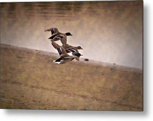 Ducks In Flight Metal Print featuring the photograph Grouping V1 by Douglas Barnard
