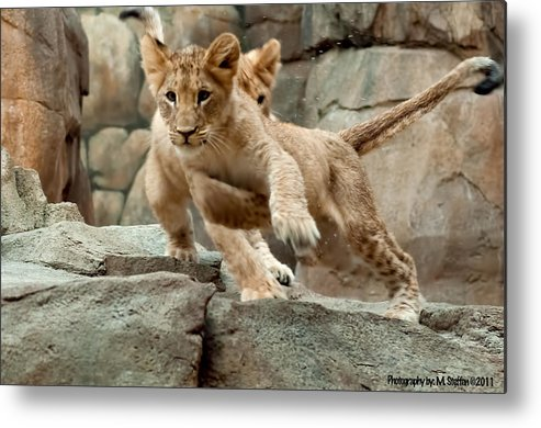 Wildlife Metal Print featuring the photograph Here I Come by Matt Steffen