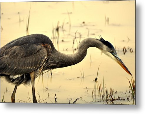Bird Metal Print featuring the photograph Heron Fishing by Marty Koch