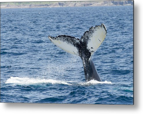 Horizontal Metal Print featuring the photograph Humpback Whale (megaptera Novaeangliae) by Aluma Images