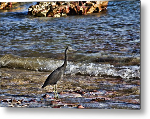 Dark Reef Egret Metal Print featuring the photograph Hunting In The Shallows by Douglas Barnard