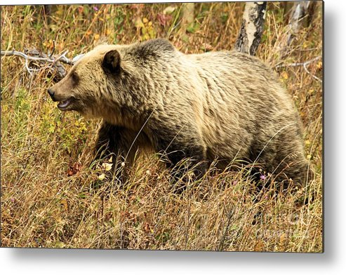 Grizzly Bear Metal Print featuring the photograph In Stride by Adam Jewell