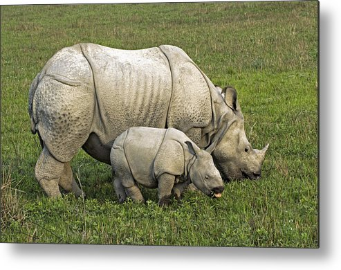 Rhinoceros Unicornis Metal Print featuring the photograph Indian Rhinoceroses by Tony Camacho