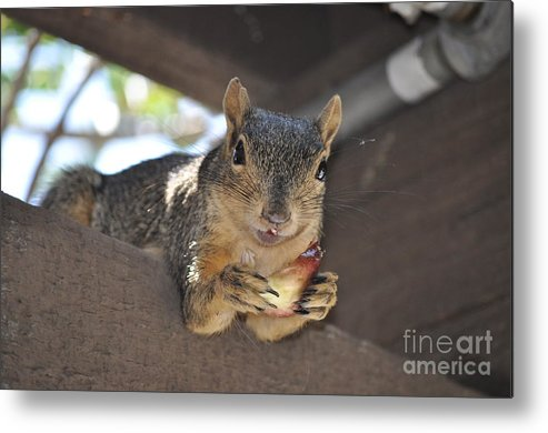 Squirrel Metal Print featuring the photograph It's My Fig by Johanne Peale