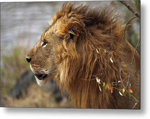 Lion Metal Print featuring the photograph Large Male Lion Emerging From The Bush by Carole-Anne Fooks