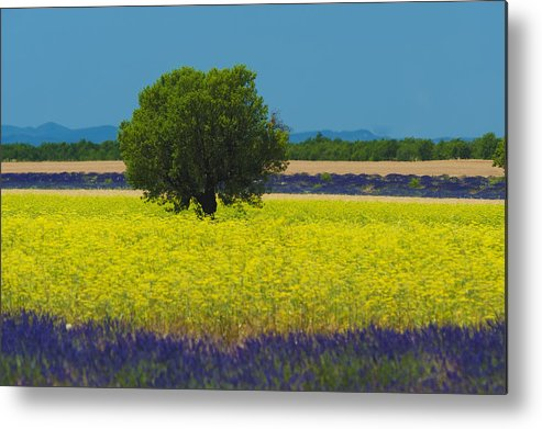 Horizontal Metal Print featuring the photograph Lavender And Colza In Summer, Provence, France by Jean-Pierre Pieuchot