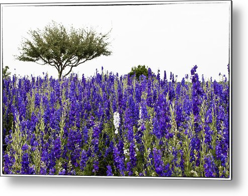 Lavender Metal Print featuring the photograph Lavender Field by Lisa Spencer