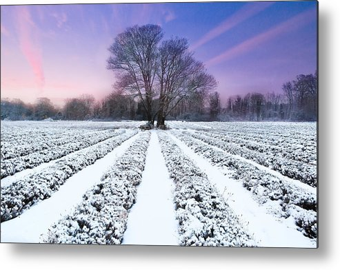 Horizontal Metal Print featuring the photograph Lavender In Winter by Getty Images
