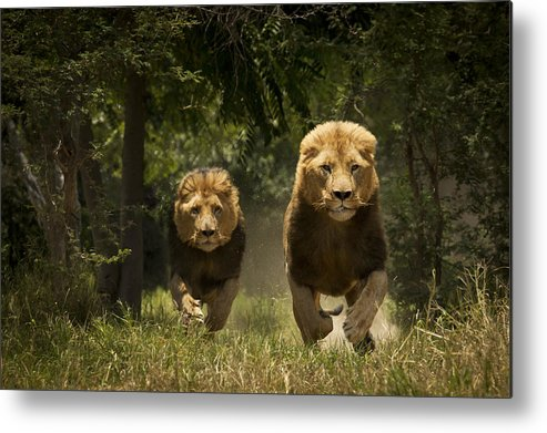 Horizontal Metal Print featuring the photograph Lions by Carole Deschuymere