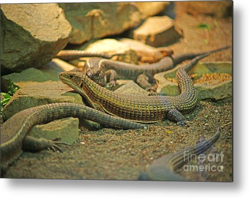 Lizards Metal Print featuring the photograph Lizards by Randy Harris