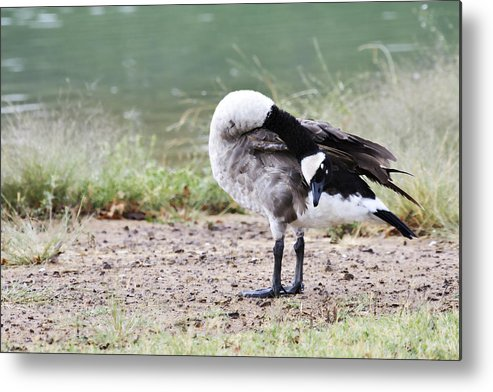 Canadian Goose Metal Print featuring the photograph Looking Back by Douglas Barnard