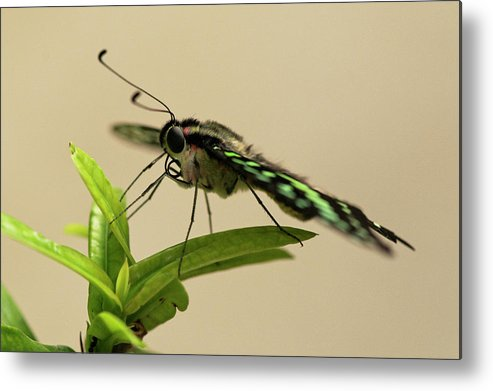 Abc Islands Metal Print featuring the photograph Malachite Butterfly by Roderick Bley