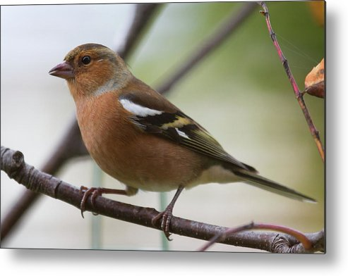 Male Chaffinch Metal Print featuring the photograph Male Chaffinch by Celine Pollard