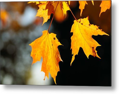 Fall Metal Print featuring the photograph Maple Leaves by Kenneth Sponsler