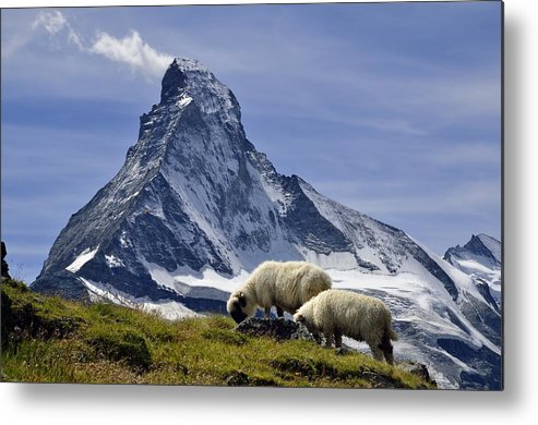 Horizontal Metal Print featuring the photograph Matterhorn With Sheep From Hohbalmen by Pierre Hanquin Photographie