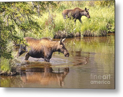 Moose Metal Print featuring the photograph Moose Family by Andre Babiak