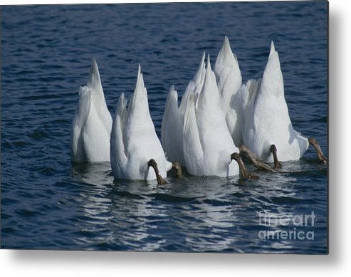 Nature Metal Print featuring the photograph Mute Swan by Jack R Brock