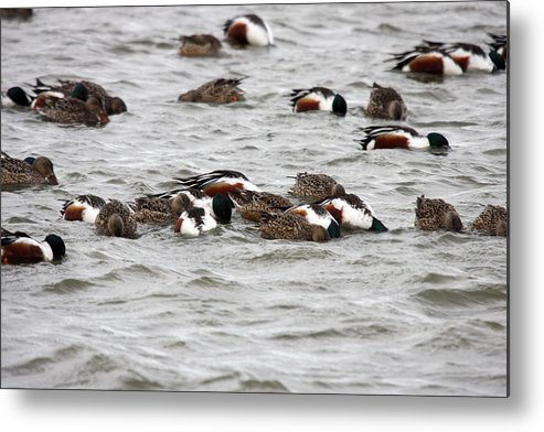 Lower Klamath Metal Print featuring the photograph Northern Shoveler Duck - 0004 by S and S Photo