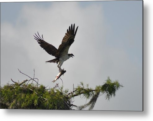 Osprey Metal Print featuring the photograph Osprey With Lunch by Kathy Ricca