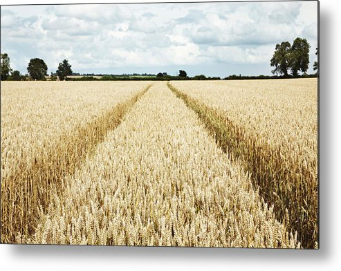 Horizontal Metal Print featuring the photograph Paths Carved In Field Of Tall Wheat by Robin James