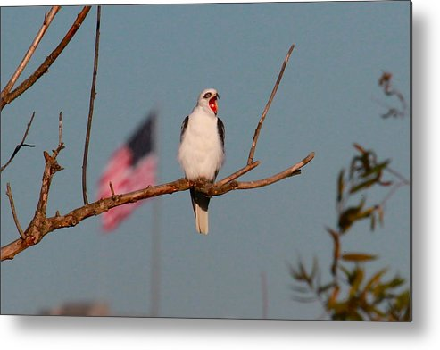 Raptor Prints Metal Print featuring the photograph Patriotic White-tail Kite by Paul Marto