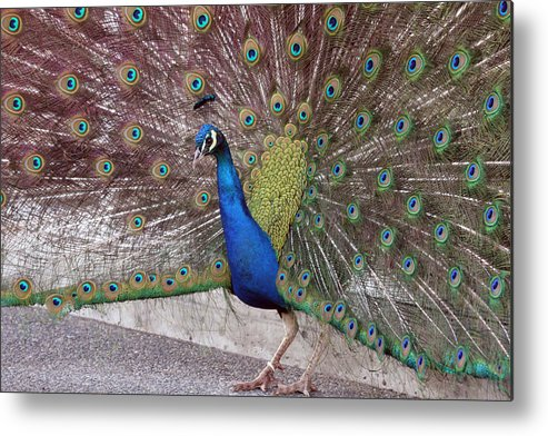Point Defiance Metal Print featuring the photograph Peacock - 0013 by S and S Photo