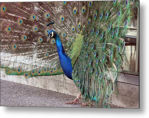 Point Defiance Metal Print featuring the photograph Peacock - 0015 by S and S Photo