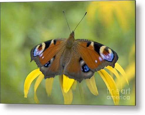 European Metal Print featuring the photograph Peacock Butterfly by Jacky Parker