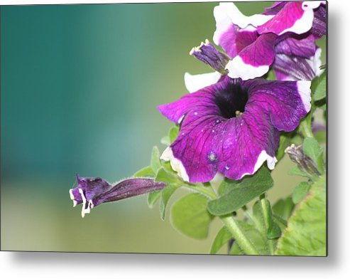 Rose Metal Print featuring the photograph Petunia by Andreea Marian