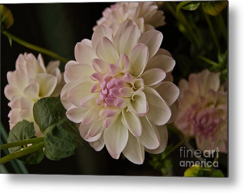 Nature Metal Print featuring the digital art Pike Place Dahlia by Bella Sparkle Photography