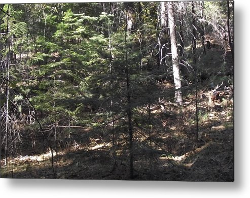 Pine Tree Metal Print featuring the photograph Pine Survivor Amongst Burned by Jayne Kerr