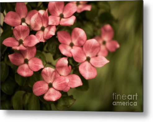 Blossom Metal Print featuring the photograph Pink Dogwood by Venetta Archer