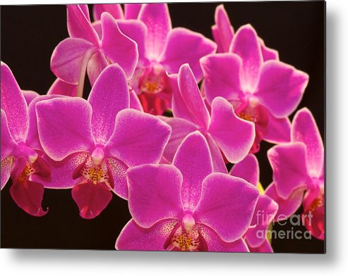 Pink Orchids Metal Print featuring the photograph Pink Orchid by Mihaela Limberea