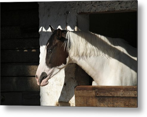 Horse Metal Print featuring the photograph Pinto Horse by Raffaella Lunelli
