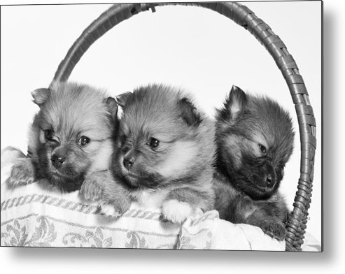 Puppies Metal Print featuring the photograph Pomeranian by Everet Regal