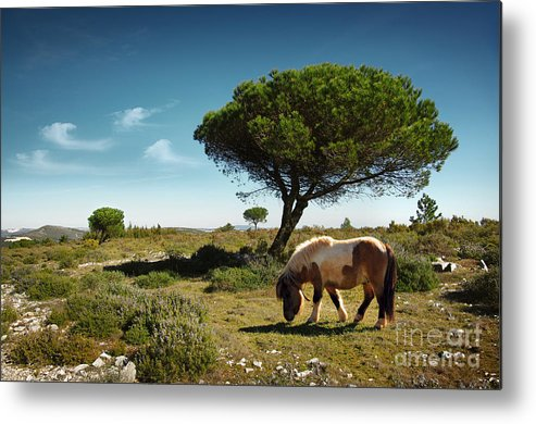 Animal Metal Print featuring the photograph Pony Pasturing by Carlos Caetano