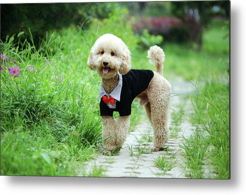 Horizontal Metal Print featuring the photograph Poodle Wearing Suit by Photography by Bobi