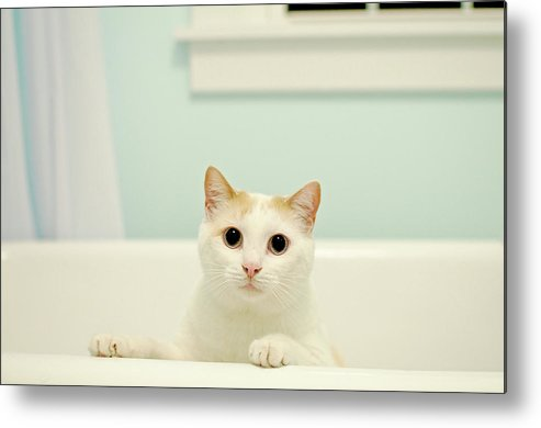 Horizontal Metal Print featuring the photograph Portrait Of White Cat by Melissa Ross