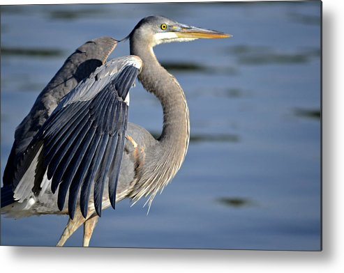 Great Blue Heron Metal Print featuring the photograph Posturing by Fraida Gutovich