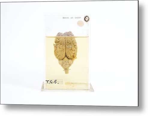 Brain Metal Print featuring the photograph Preserved Sheep Brain by Gregory Davies, Medinet Photographics