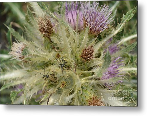 Cactus Metal Print featuring the photograph Purple Cacti With Pollinated Beetle by Roxann Whited