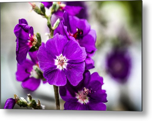 Purple Flowers Metal Print featuring the photograph Purple Delight by Andrea OConnell