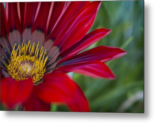 Red Metal Print featuring the photograph Red Gerber 5 by Jessica Velasco